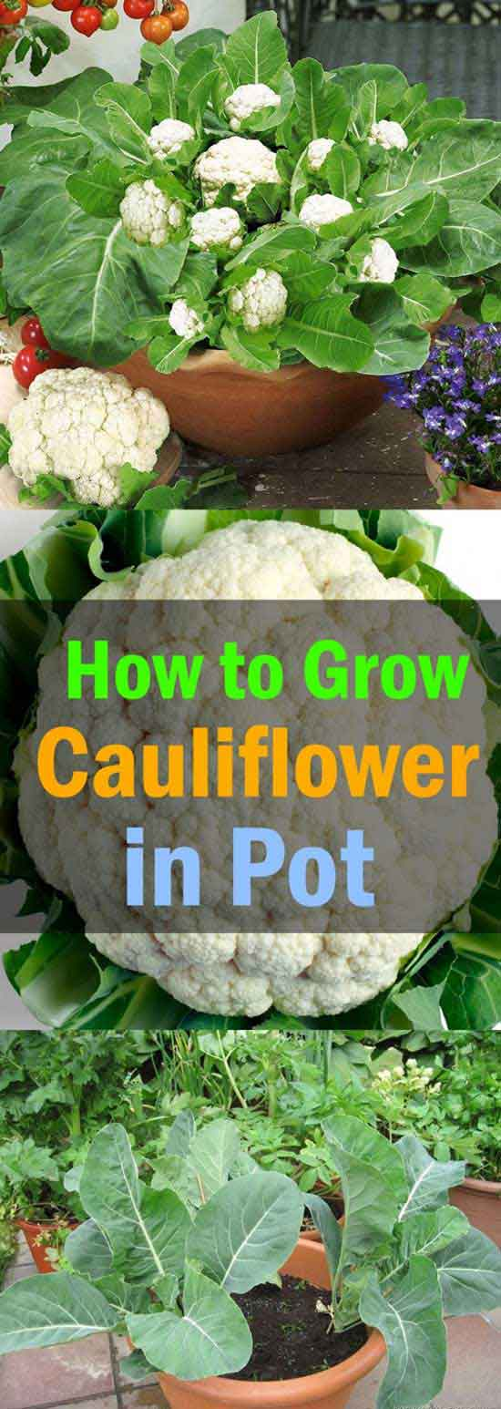 Planting cauliflower in a container is not very difficult, just make sure you allow for adequate drainage and give them plenty of sunlight every day.