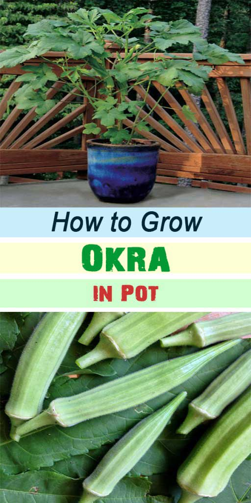 Grow okra in containers if you are short on space. Okra is fast growing in hot climates and ready for harvest in about two months.