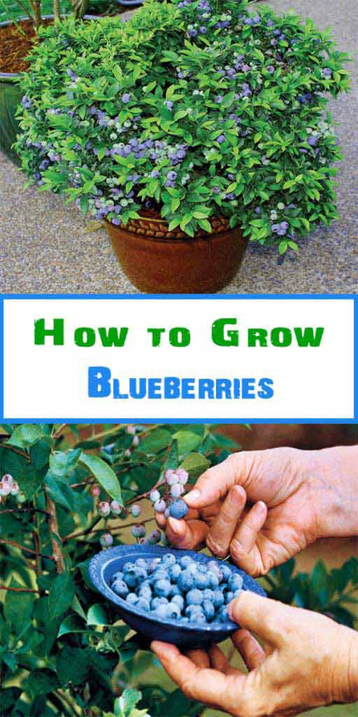 Dwarf Blueberry variety is perfect for a patio or other urban garden, as they can grow even in a po.