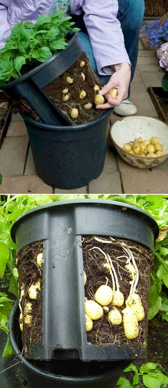 Putting a potato pot with cut sides inside another one makes it easier to lift the plants out for harvestin.