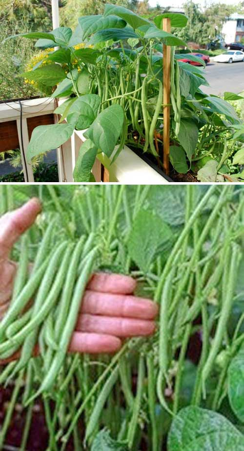 Thanks to their compact growing habit, bush beans is one of the most suitable crops can be grown in a container. If you do decide to grow this type of beans, add the support structure before you plant.