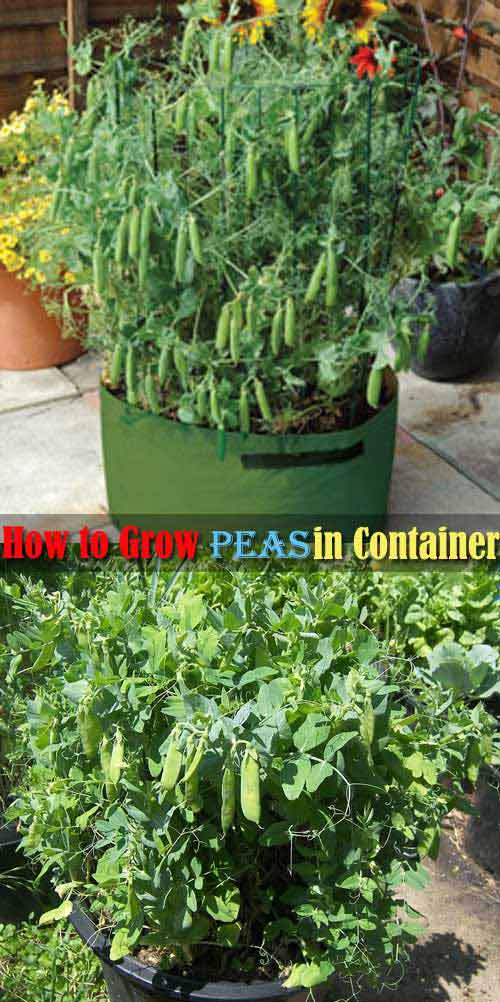 Peas are a great crop for container gardening, but they do not do well with the high heat of summer.