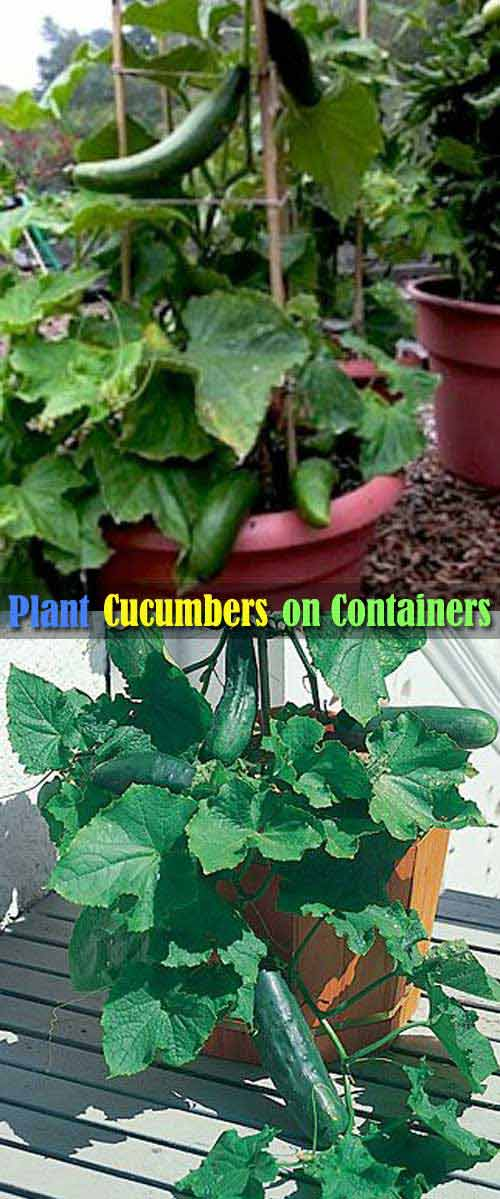 Cucumbers are Easy to Grow in Containers, Just Keep Them Vertically Growing by Using a Stake.