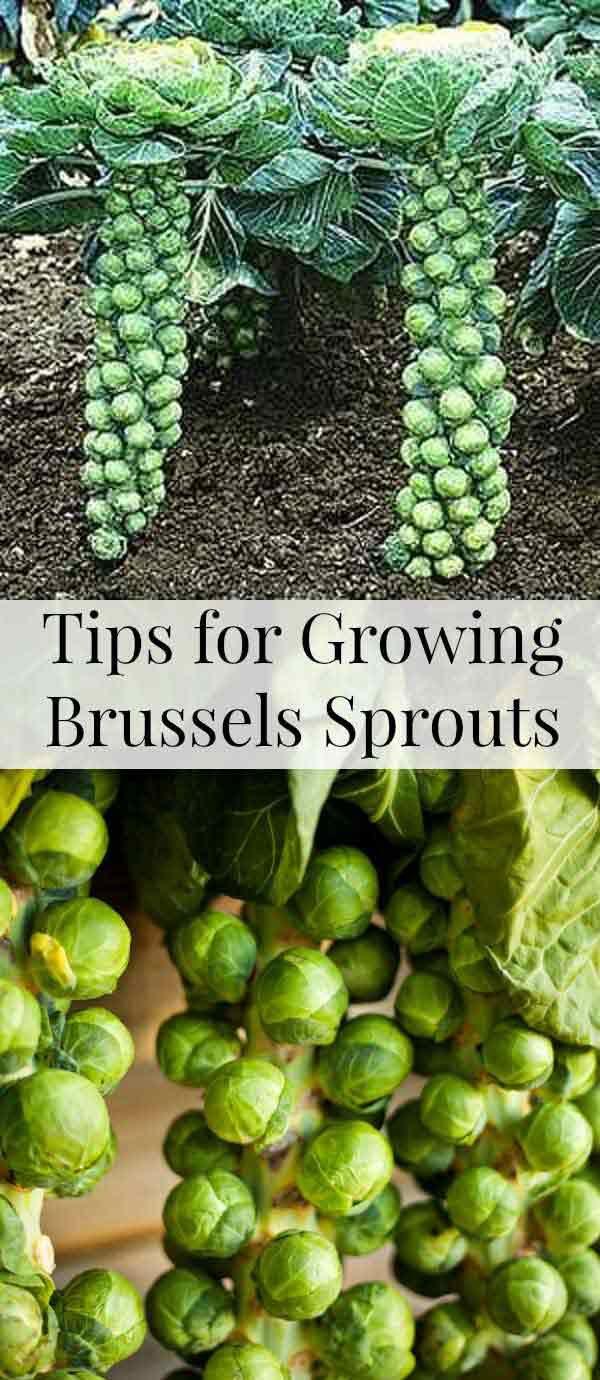 Thanks to their vertically growing habit, brussels sprouts can be a suitable addition of a space-saving container garden.