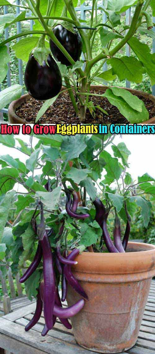 It is easy to grow eggplants in containers, you just need to look for a container that is at least 12 inches deep and 16 to 18 inches wide, then keep the container in a full sun and feed heavily.