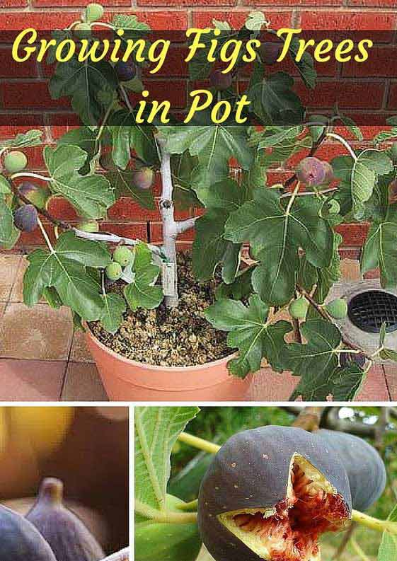 Potted Fig Tree: Figs are sweet, chewy and healthy.