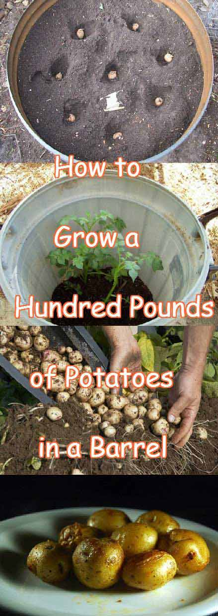 Simple Steps to Grow a Hundred Pounds of Potatoes in a Barre.